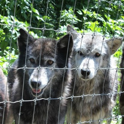 Howling at the Wolf Sanctuary